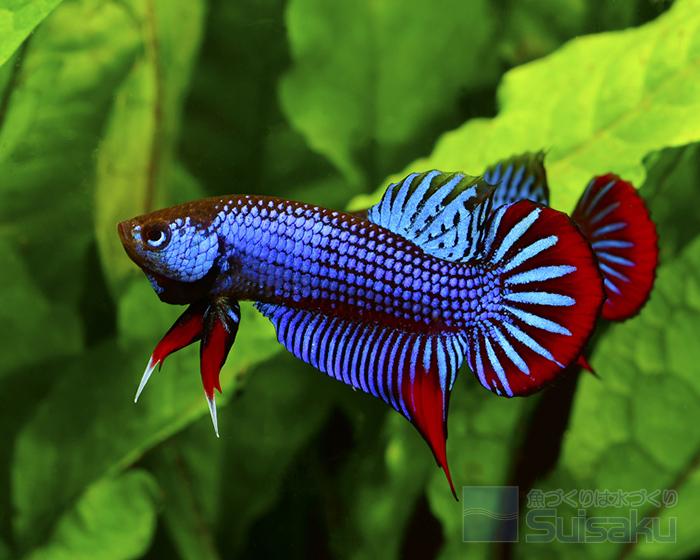 ブルーの色合いは、魚の興奮度などにより異なってくる。
