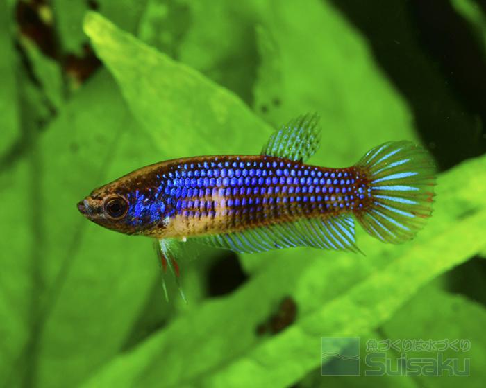 いブルーの緊張色を表しているメス個体