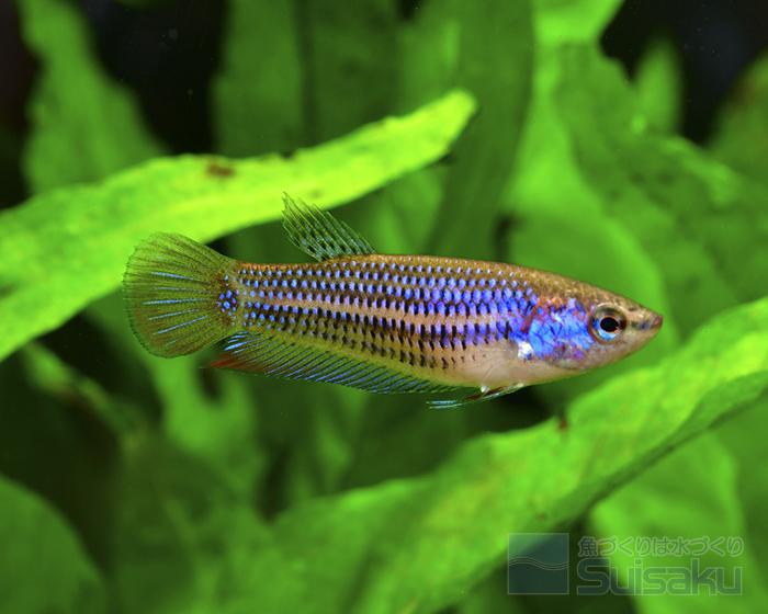 平常時でも鰓蓋や体側にはうっすらブルーが現れている
